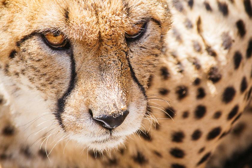 Cheetah encounter, South Africa