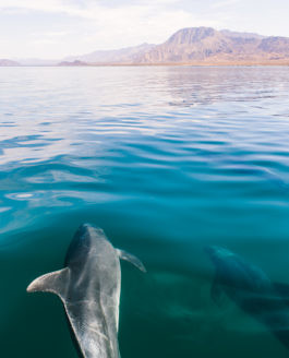 Dolphins in Baja California, Mexico