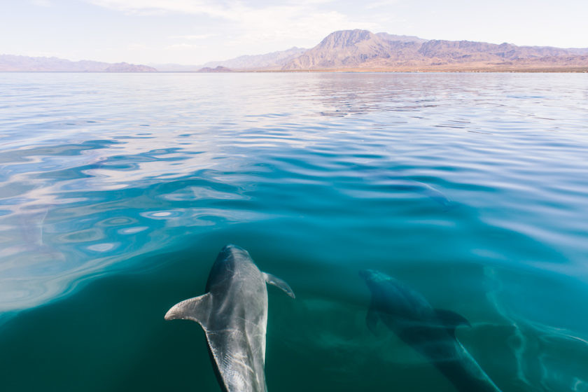 Dolphins in Baja California, Mexico